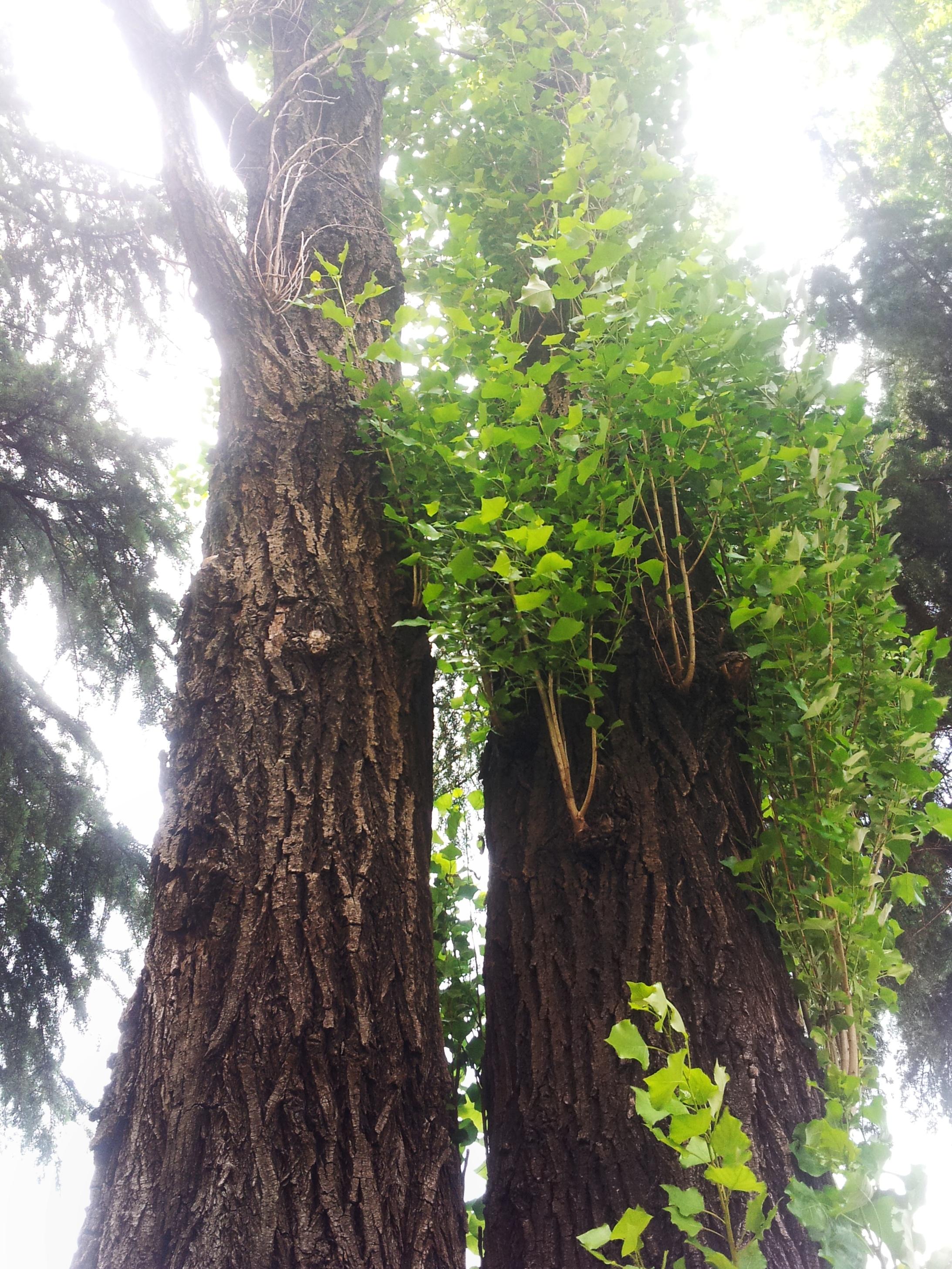 나무덩쿨 고목 나무 줄기 봄 숲 나뭇잎 자연 햇살 포토샵 뽀샤시 오크 태양 기분 좋은 숲 무료이미지