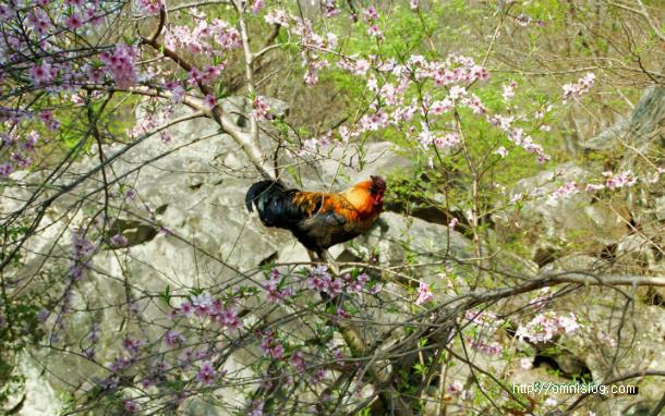 봄꽃 즐기는 장닭/OmnisLog