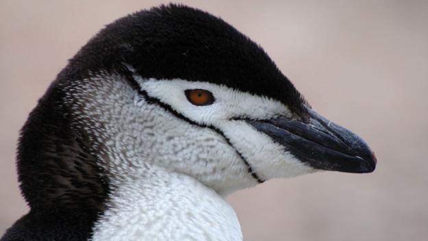 턱끈펭귄(Pygoscelis antarcticus). 저작권은 BBC에.