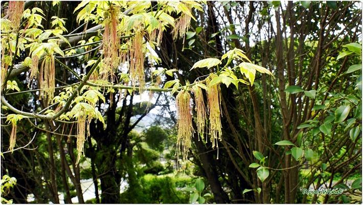 플라밍고(플라멩고) 단풍나무 꽃 Acer negundo Flamingo flower