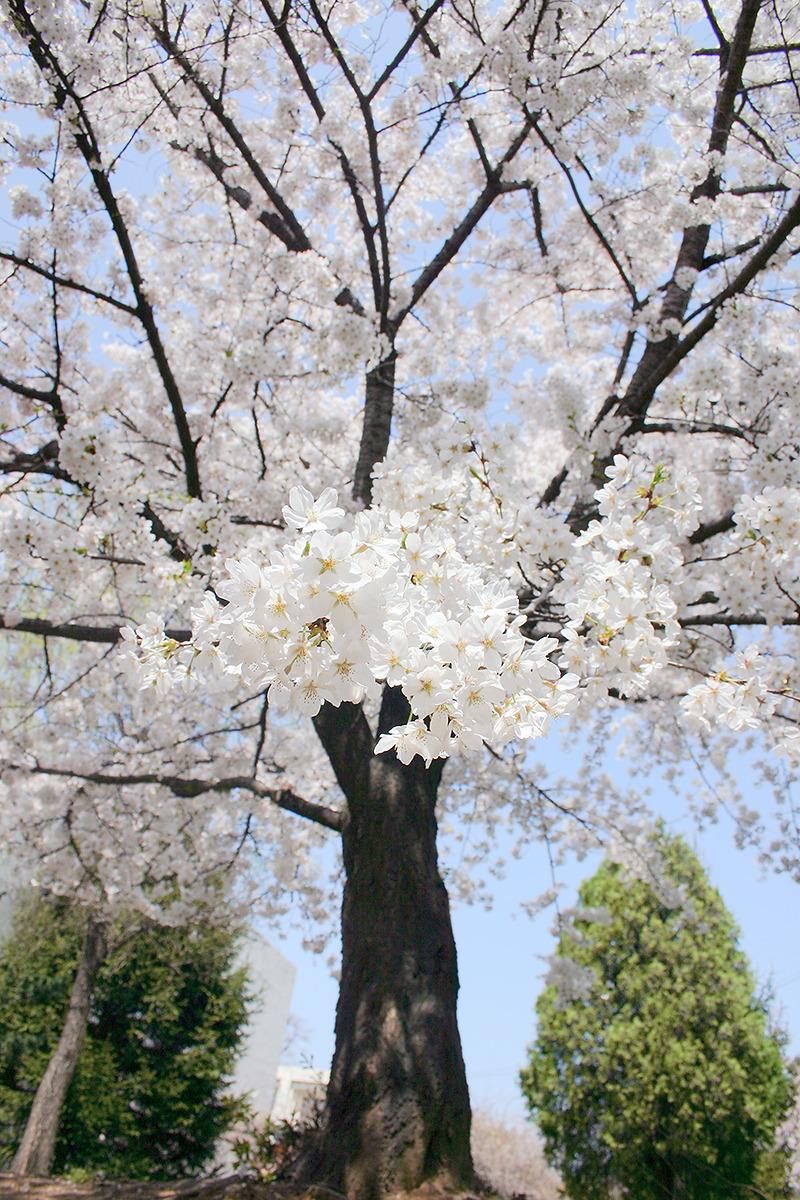 벗꽃 가지가 손을 내밀듯 카메라를 향해 뻣어있는 사진-세로로 촬영되어 있음.
