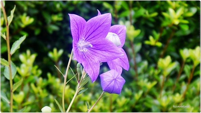 자주색 도라지 꽃
