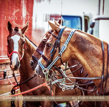 폴로 포니 (Polo Ponies)  by Lady Expat
