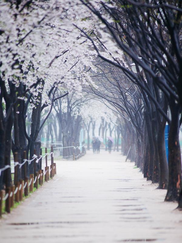 봄비내리는 인천대공원-벗꽃피어있는 봄꽃길 멀리에 우산을 쓴 사람들이 보인다.
