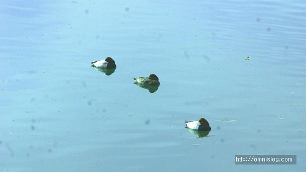 수영천의철새