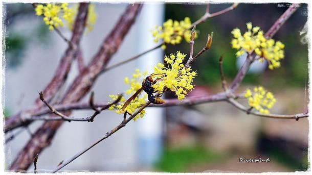 산수유 꽃과 말벌