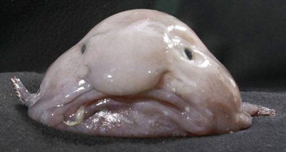 Blobfish Psychrolutes marcidus
