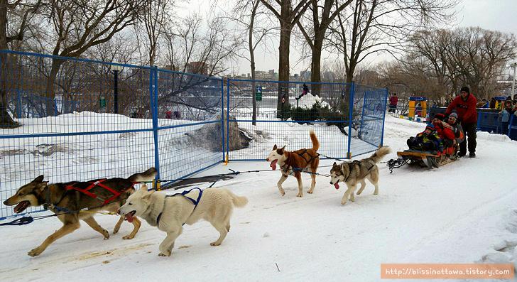 캐나다 겨울 축제 오타와 윈터루드 winterlude 개썰매