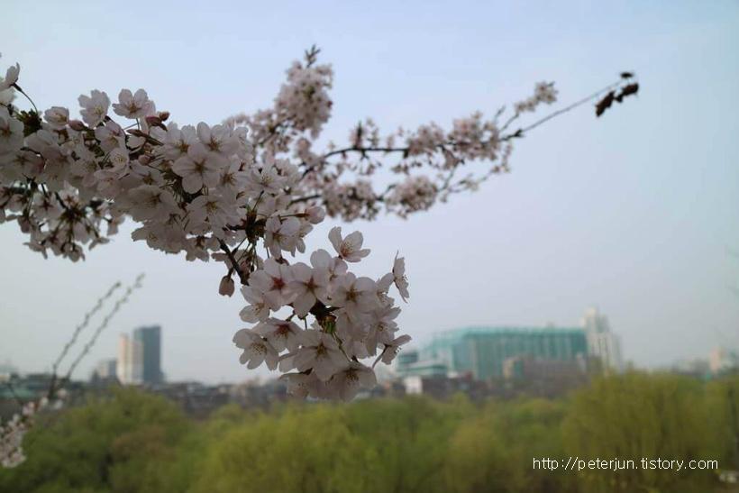 여의도 벚꽃 개화시기