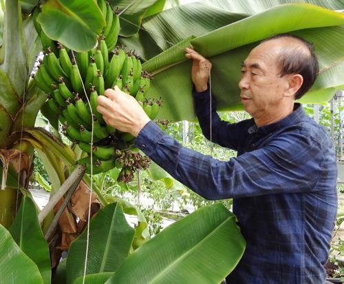 [시설하우스] 경남 하동, 바나나 재배 성공