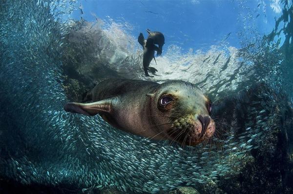 동물 부문 3위. 아기 바다 사자(Filippo Borghi)