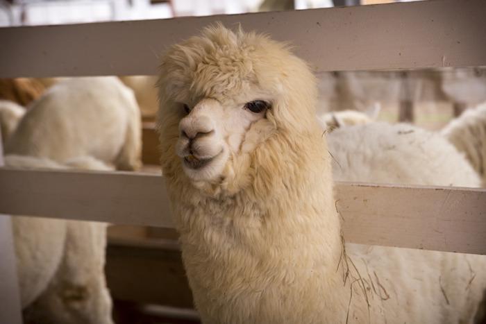 웃고 있는 알파카