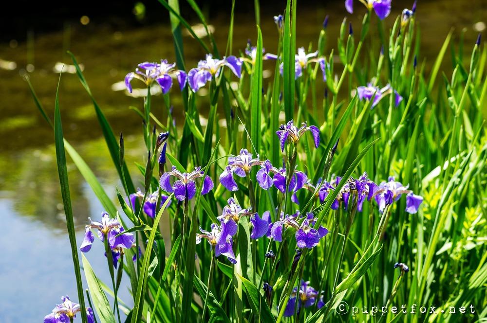 창포원-붓꽃-0511-10