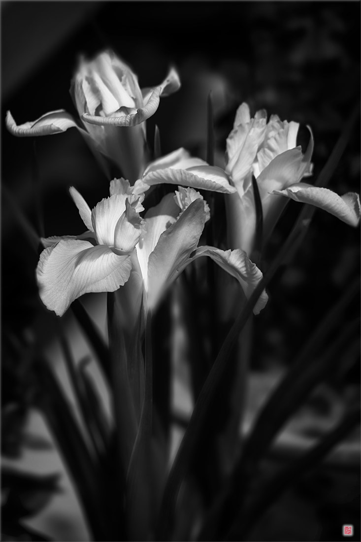 [삼성NX500] 붓꽃도 봄입니다