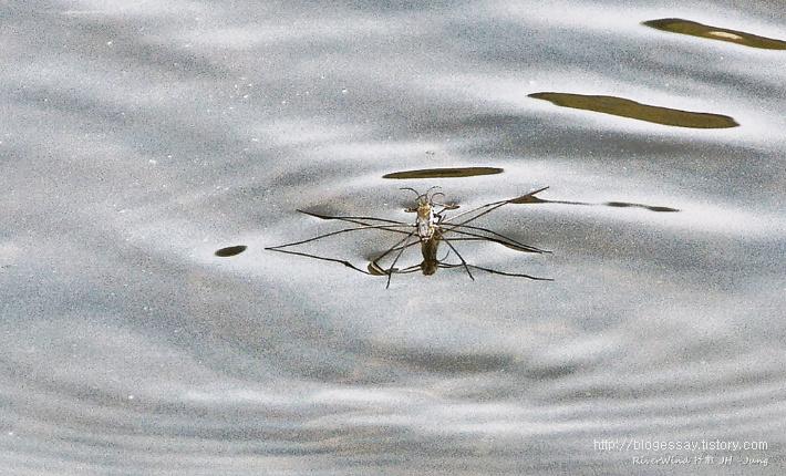 소금쟁이 Water strider